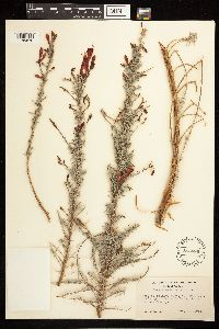 Epilobium canum subsp. canum image