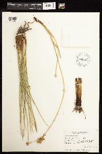 Juncus cooperi image