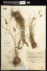 Juncus compressus image