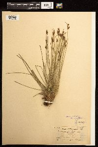 Juncus parryi image