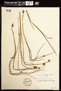 Juncus phaeocephalus image
