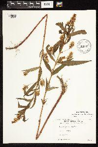 Lysimachia x commixta image