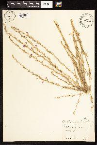 Lythrum californicum image