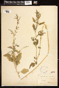 Chenopodium opulifolium image