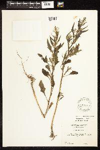 Oxybasis rubra var. humilis image