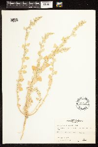 Chenopodium watsonii image