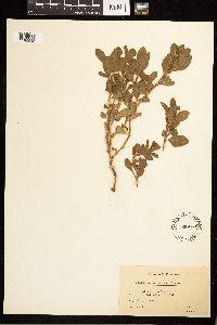 Polygonum achoreum image