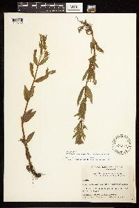 Epilobium ciliatum image