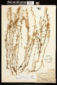 Epilobium foliosum image