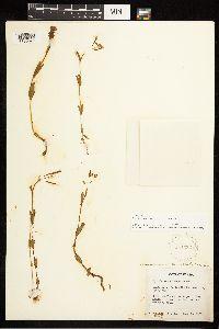 Epilobium halleanum image