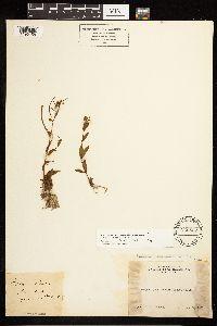 Epilobium hornemannii subsp. hornemannii image