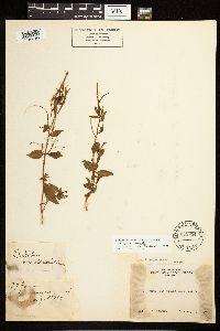 Epilobium hornemannii image