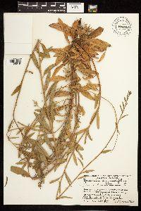 Epilobium montanum image