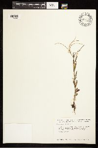 Epilobium palustre image