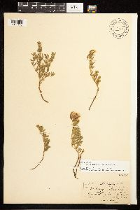 Epilobium suffruticosum image