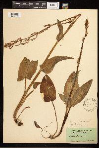 Rumex lapponicus image