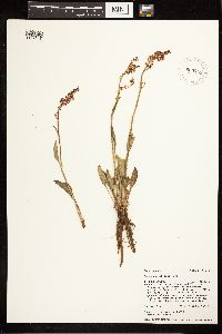 Rumex paucifolius image