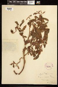 Rumex venosus image