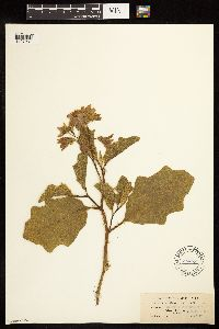 Solanum dimidiatum image