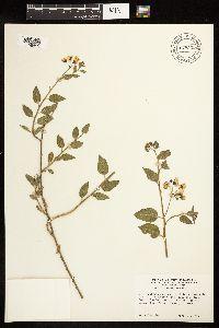 Solanum xanti var. intermedium image
