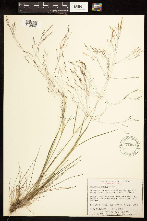 Agrostis image