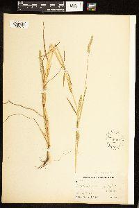Alopecurus aequalis var. aequalis image