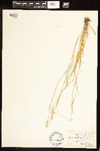 Alopecurus geniculatus image