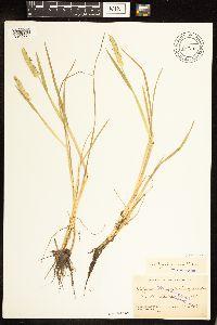 Alopecurus geniculatus var. geniculatus image