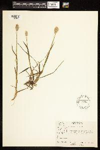 Alopecurus magellanicus image