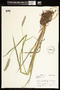 Alopecurus pratensis image