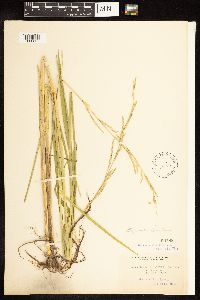 Glyceria fluitans image