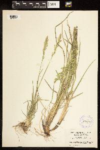 Poa fendleriana subsp. longiligula image