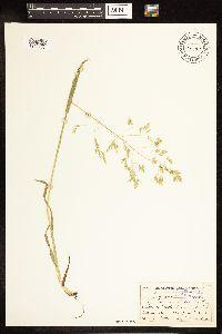Poa occidentalis image