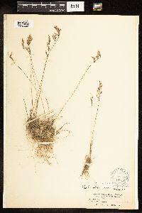 Poa secunda subsp. secunda image