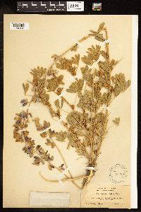 Image of Lupinus acutilobus