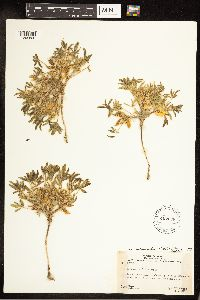 Lupinus pusillus image