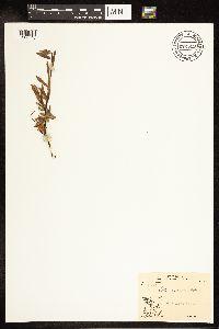 Salix arbusculoides image