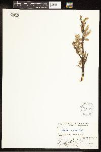 Salix arctica image