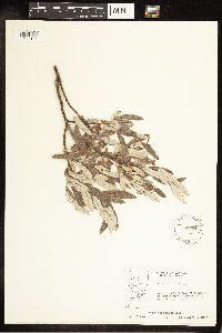 Salix candida image