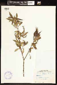 Salix × fragilis image