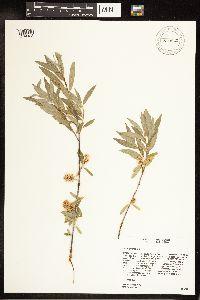 Salix geyeriana image