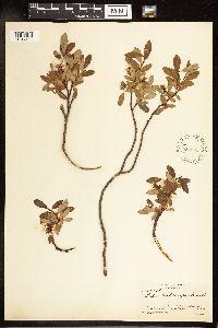 Image of Salix x hebecarpa
