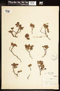 Salix herbacea image
