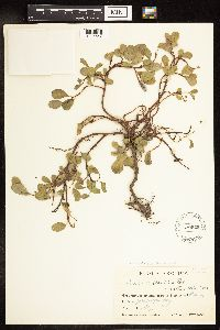 Image of Salix x hudsonensis