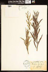 Salix melanopsis image