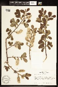 Salix scouleriana image