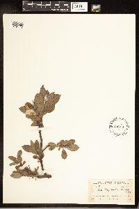 Image of Salix x wiegandii