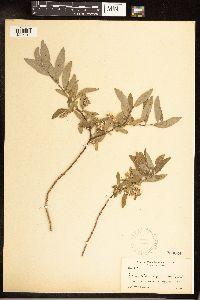Image of Salix x wyomingensis