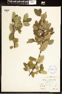 Frangula californica subsp. ursina image