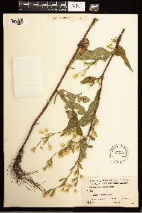 Solidago macrophylla image